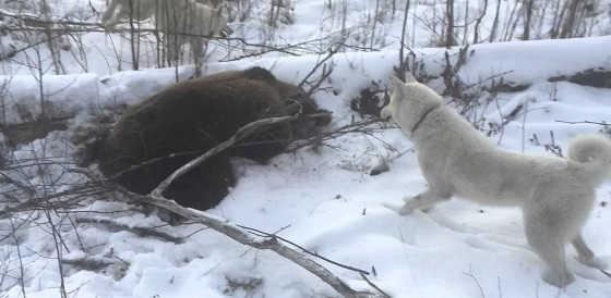 Зимняя охота на медведя с западно-сибирской лайкой