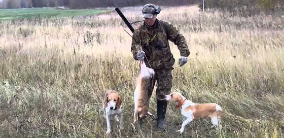 Охота на зайца с эстонскими гончими