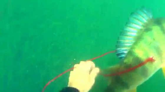 Подводная охота на крупного окуня