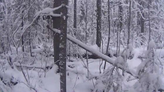 Проверка капканов на волка