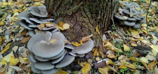 Сбор грибов вешенка