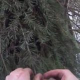 Установка капканов на куницу под веник