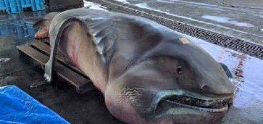 В Японии рыбаки выловили редкую акулу
