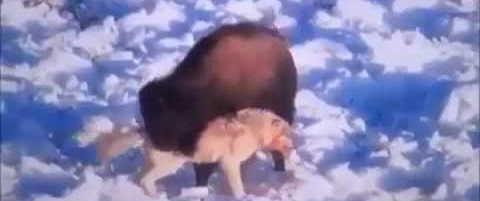 Волк против бизона