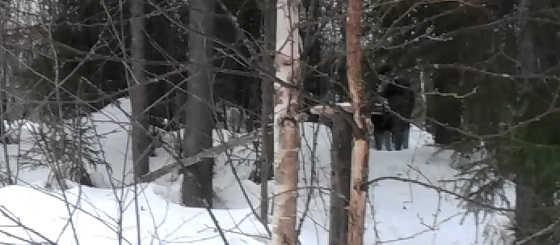 Встреча с лосем в Кировской области
