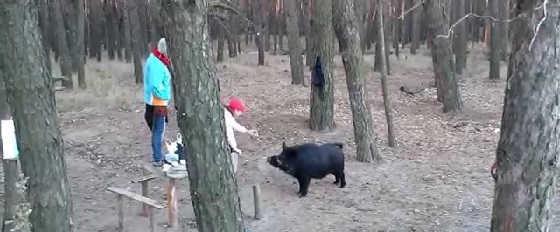 Встреча в лесу с диким кабаном