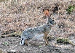 Буйный заяц