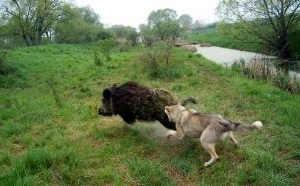 Кабан посек молодую собаку