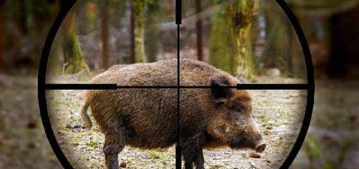 Как целиться в кабана на охоте
