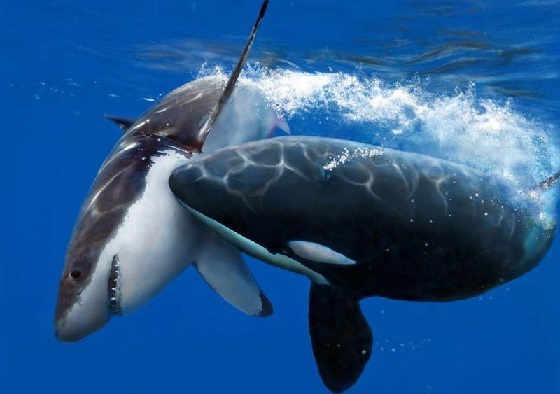 Киты против акулы