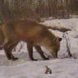 Охота на приваде на лису
