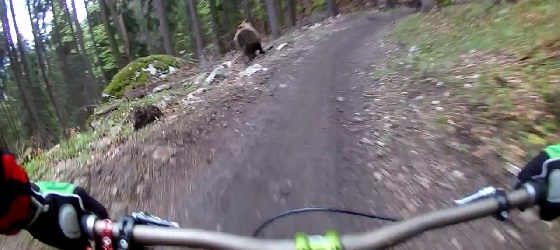 Медведь гонится за велосипедистом