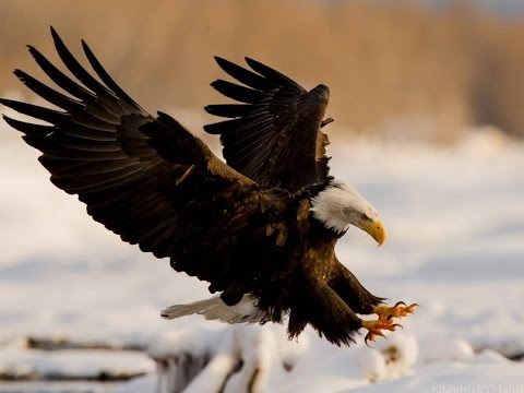 Нападение орла