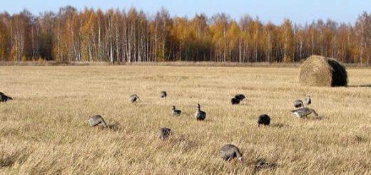 Охота на гуся на полях