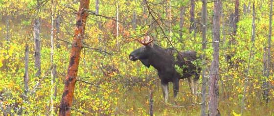 Охота на лося загоном