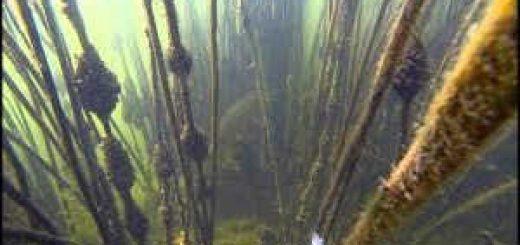 Подводная охота в камыше