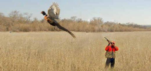 Результативная охота на фазана