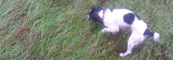 Охота на зайца с спаниелем