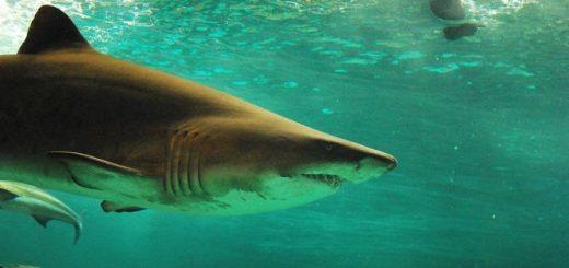 Акулы – убийцы или нет?