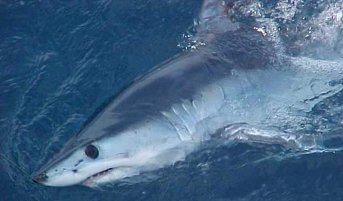 Акулы атакуют с закрытыми глазами