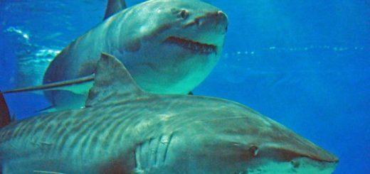 Акулы: температурный режим