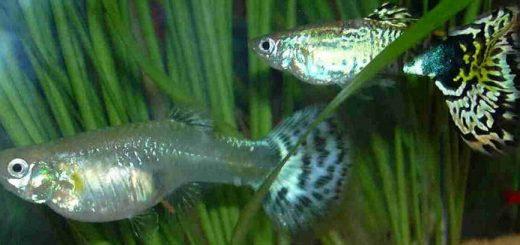 Все про аквариумных рыбок