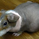 Беременность у морских свинок
