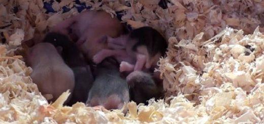 Беременность и роды у хомяков
