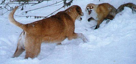 Использование гончих собак