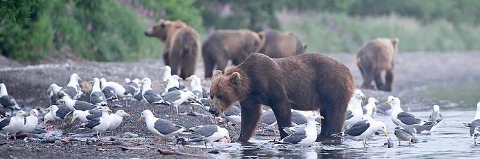 На Камчатке медведям не хватает лосося
