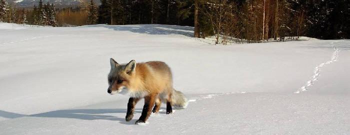 Способы ловли лисицы капканом