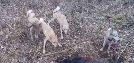 На охоту с лайкой