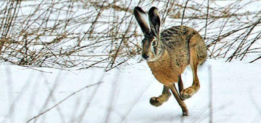 Как охотиться на зайца без собак