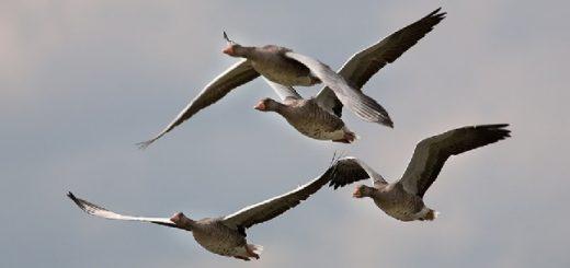 Ошибки при охоте на гусей