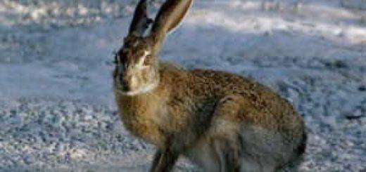 Охота на хитрого зайца