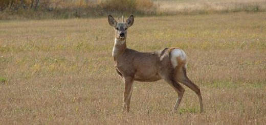 Стратегия и тактика охоты на косулю
