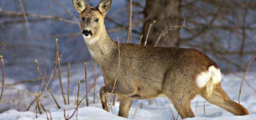 Охота на косулю зимой