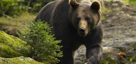 Охота на медведя на солнцепеке