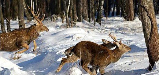 Охота оленя с подхода