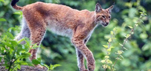 Охота на рысь в Приангарье