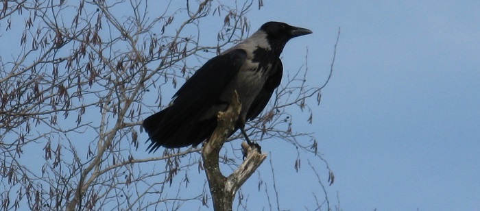 Охота на серую ворону