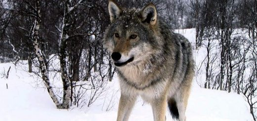 Охота на волков в логовах