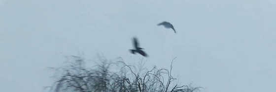 Охота с пневматикой на серую ворону