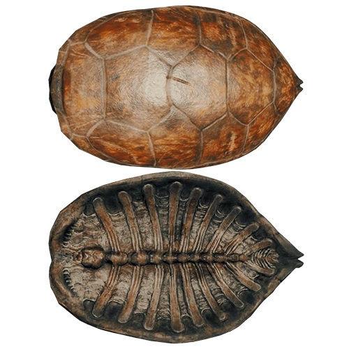 Всегда ли у черепах был панцирь?