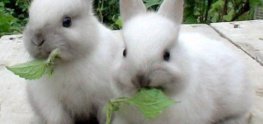 Породы декоративных кроликов