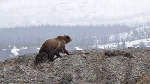 Весенний отстрел медведей