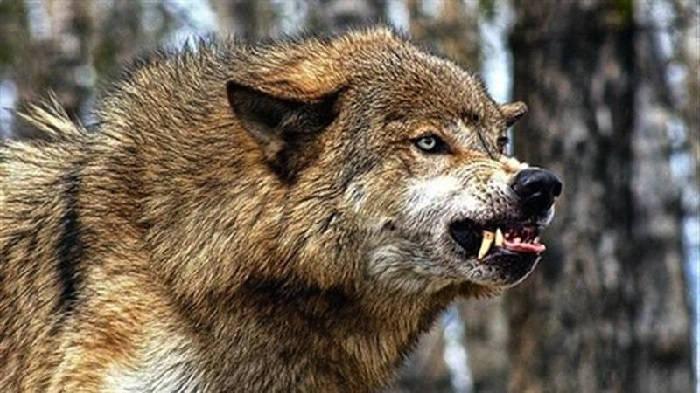 Опасность волчьей засады