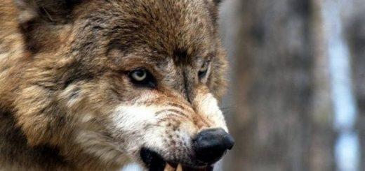 Волки атакуют Забайкальский край