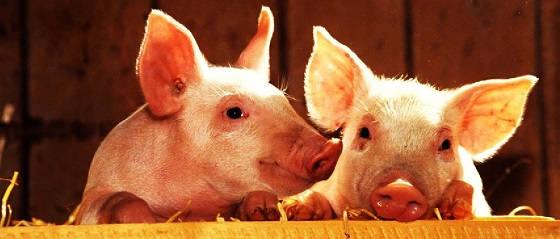 Все о свиньях