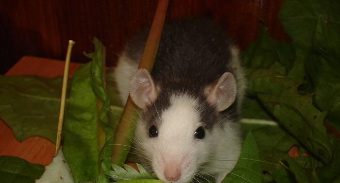 Введение здоровым крысам витамина С